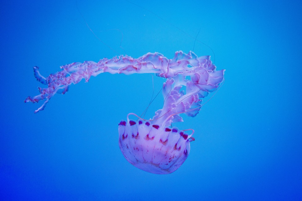 Jelly_Fish_002