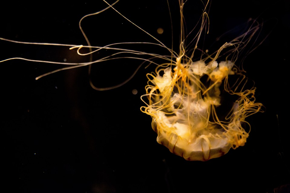 Jelly_Fish_005